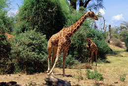 [ T95-121   ]   Mammal Giraffes , China Pre-stamped Card, Postal Stationery