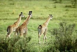 [ T95-122   ]   Mammal Giraffes , China Pre-stamped Card, Postal Stationery
