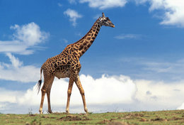 [ T95-123   ]   Mammal Giraffes , China Pre-stamped Card, Postal Stationery