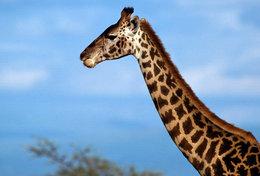 [ T95-124   ]   Mammal Giraffes , China Pre-stamped Card, Postal Stationery