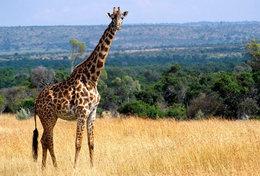 [ T95-125   ]   Mammal Giraffes , China Pre-stamped Card, Postal Stationery