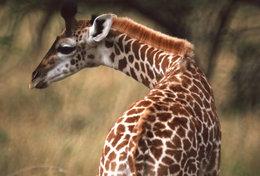 [ T95-126   ]   Mammal Giraffes , China Pre-stamped Card, Postal Stationery