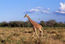 [ T95-127   ]   Mammal Giraffes , China Pre-stamped Card, Postal Stationery