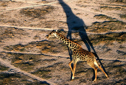 [ T95-128   ]   Mammal Giraffes , China Pre-stamped Card, Postal Stationery