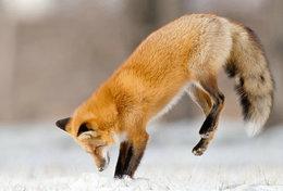 [ T95-129   ]   Mammal Fox  , China Pre-stamped Card, Postal Stationery