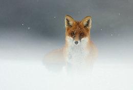 [ T95-130   ]   Mammal Fox  , China Pre-stamped Card, Postal Stationery