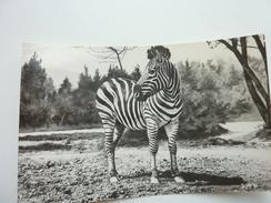 Zebra Tbilisi Zoo - Zebras
