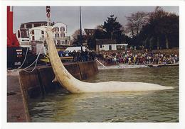 Enlèvement D'une Baleine échouée Daté Du 12 /1997. - Beg Meil
