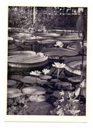 FLORA - Botanischer Garten München, Victoria Cruziana / Riesenseerose & Nymphaea Lotus / Ägyp. Lotusblume - Botanik
