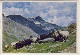 HOHE TAUERN - Bergschafe,  Foto: Otto Dechant,  Gel. 1947 - Sin Clasificación