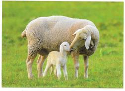 Mouton - Brebis Et Agneau - Ed. CEDIS - Animaux & Faune