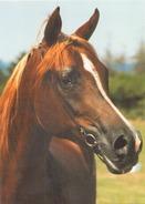 Arabe Pur Sang - Cavalli