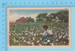 Cotton Field  - Before Harvesting  - Linnen Postcard Lin -  Vintage Ancienne - 2 Scans - Cultures