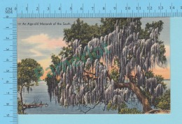 Oaks  -Live Oaks Centurie Old With Trailing Spanish Moss  - Linnen Postcard Lin -  Vintage Ancienne - 2 Scans - Arbres