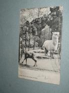 CPA, Carte Précurseur, Seine 75, Paris, Jardin D'Acclimatation Du Bois De Boulogne, Bouquetin & Alpaca Alpaga, 1903 - Parks, Gardens