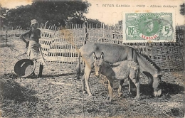 AFRIQUE  GAMBIE  RIVER GAMBIA   PERI  AFRICAN DONKEYS - Gambie