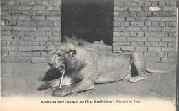 AFRIQUE  MALAWI  MISSION DU SHIRE DES PERES MONTFORTAINS   LION PRIS AU PIEGE - Malawi
