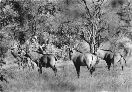 TCHAD  PARC NATIONAL DE ZAKOUMA   ANTILOPES CHEVAL - Tchad
