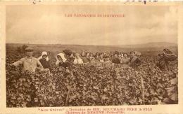 LES VENDANGES EN BOURGOGNE AUX GREVES DOMAINE DE MM BOUCHARD PERE ET FILS  CHATEAU DE BEAUNE - Vignes