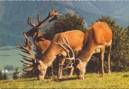 CERFS WILDPARK MAUTERN - Animales