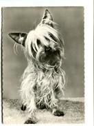 Cp - CHIEN - Yorkshire Terrier - Pub Médicale Génoline - Hunde