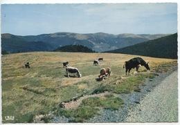 Les Hautes Chaumes Au Rain (les Vosges Pittoresques N°68/388/21 La Cigogne Vierge) Vaches Paturage - Autres Communes