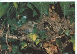 Oiseau : Troglodyte  (troglodytes Troglodytes) Wren (cp Vierge) - Oiseaux