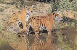 Indische Tiger, Karte Aus New Delhi