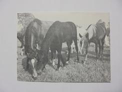 Hungary Hungarian Babolna Babolna Horses Horse A03 - Photographs