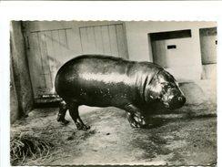 Cp - HIPPOPOTAME Nain Du Libéria - Pub Transfusine - Hippopotames