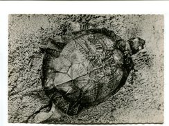 Cp - TORTUE RAYONNEE De Madagascar - Pub Médicale Transfusine - Schildpadden