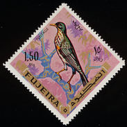 Fujeira. 1969.  Yemen Thrush    Turdus Menachensis