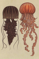Postcard - Animalium - L To R, Black Se Nettle 7 Pacific Sea Nettle New - Postcards