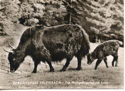 Allemagne. Bergtierpark Erlanbach. Yak.  Grand Format. - Germany