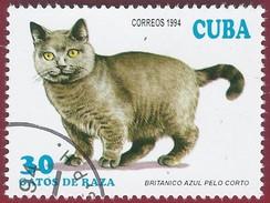 1994 - British Blue Shorthair (Felis Silvestris Catus) - Yt:CU 3354 - Used (u)
