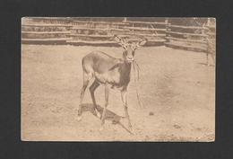 ANIMALS - ANIMAUX - PETIT CHEVREUIL - SCOTTISH ZOOLOGICAL PARK IMPALA - PHOTO T.H. GILLESPIE - Animaux & Faune