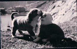 Jeunes Chiens Du St Bernard (243) - Cani