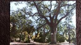 CPSM LE CHENE PRIEUR DE SOISY SUR SEINE ESSONNE - Trees