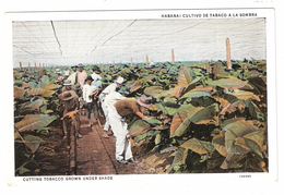TABAC : Habana, Cuba: Cultivo De Tabaco A La Sombra / Cutting Tobacco Grown Under Shade; C 1930 , TB - Tabaco