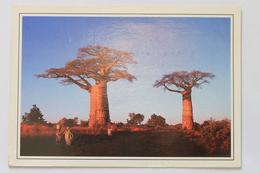 Andansonia Grandidieri, On The Road To Morombe / Sur La Route De Morombe, Madagascar, Africa / Afrique - Madagascar
