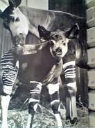 SUISSE OKAPI ZOO BASEL STAMP TIMBRE HELVETHIA 5+5 E 5 GEMELLI PRO PATRIA  1962 GA12861 - BS Bâle-Ville