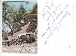 - 08 - Sangliers De La Foret Des Ardennes -