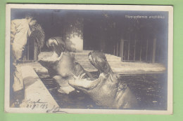 BERLIN : Zoo, Hippopotamus Amphibius. Hippopotame Amphibie. 2 Scans. - Allemagne