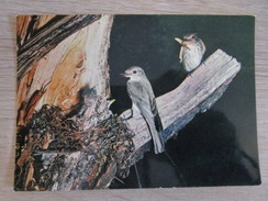 Nids D'oiseaux. Male Et Femelle Gobe Mouche Gris - Birds