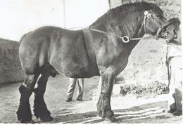 TRAIT HOLLANDAIS - Cavalli