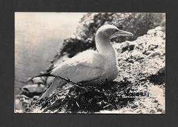 ANIMALS - ANIMAUX - BIRD - A GANNET NESTING ON BONAVENTURE ISLAND - VÉRITABLE PHOTO - Oiseaux