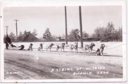 ALTE Foto- AK  NIPAWIN / Prov. Saskatchewan / Kanada  - A String Of Huskies - Ca. 1920 - Saskatchewan