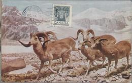 Canada. Ovelhas.Mammals. Bovídeos.Capríneo. Sheep. Sheep Creek. Maxicard. Carte Maximum. Pecuaria. Carte Postal. 1953 - Maximum Cards
