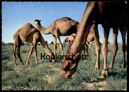 ÄLTERE POSTKARTE CAMELS SAUDI ARABIA Kamele Kamel Chameau Ansichtskarte Postcard AK Cpa - Saudi-Arabien