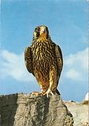 EMIRATS ARABES UNIS - FAUCON En 1981 - Vögel